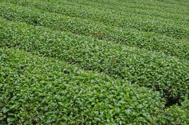 Theeaanplantingen royalty-vrije stock foto