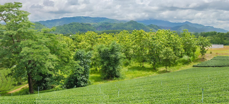 Theeaanplantingen royalty-vrije stock afbeeldingen