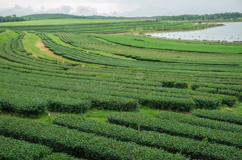 Theeaanplantingen stock foto