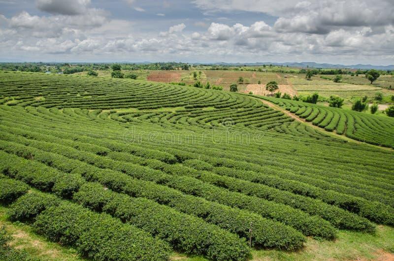 Theeaanplantingen royalty-vrije stock afbeelding