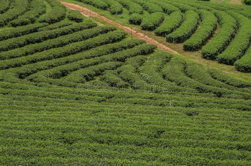 Theeaanplantingen stock afbeeldingen