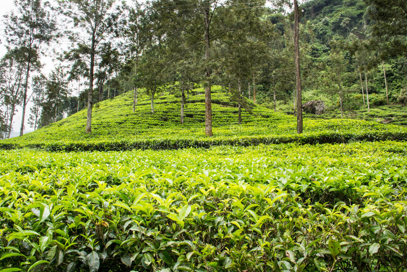Theeaanplantingen en heuvel stock afbeeldingen