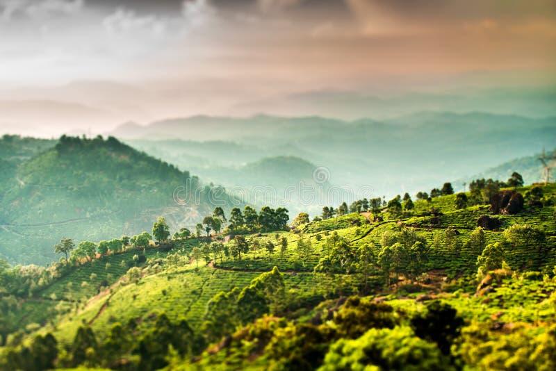 Theeaanplantingen in India (de lens van de schuine standverschuiving) royalty-vrije stock afbeelding