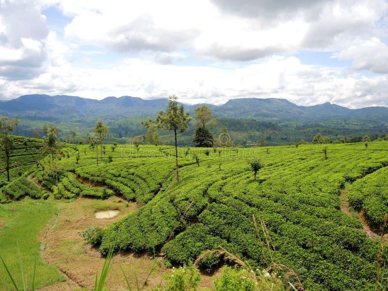 Theeaanplantingen in Nuwara Elia royalty-vrije stock foto