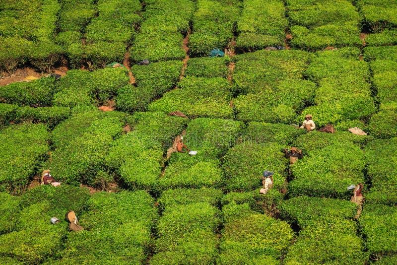 Theearbeiders die thee in de groene weelderige heuvels en de bergen van de theeaanplanting oogsten rond Munnar, Kerala, India royalty-vrije stock foto's