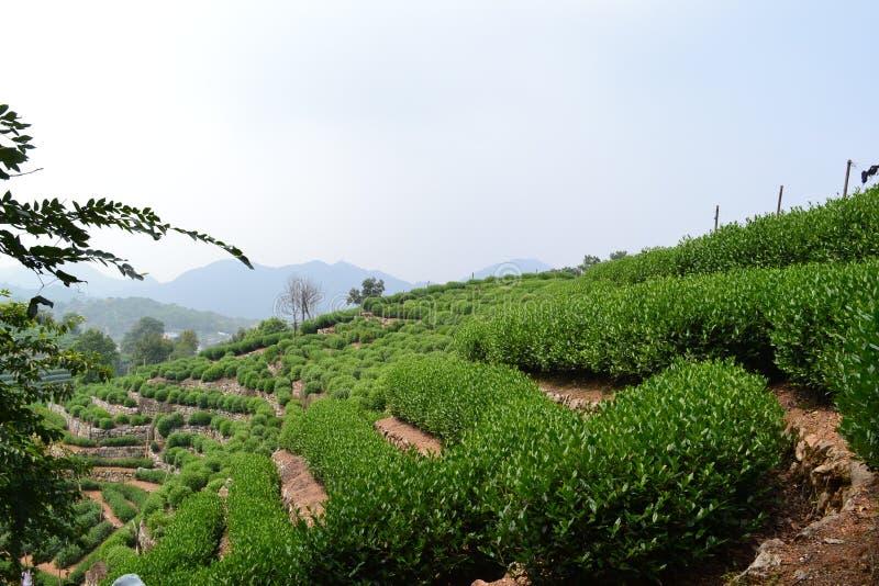 Theebomen in Longjin-dorp van Hangzhou royalty-vrije stock foto