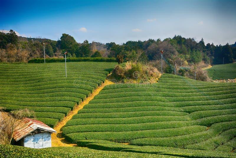 Theelandbouwbedrijf, Wazuka, Japan royalty-vrije stock afbeeldingen