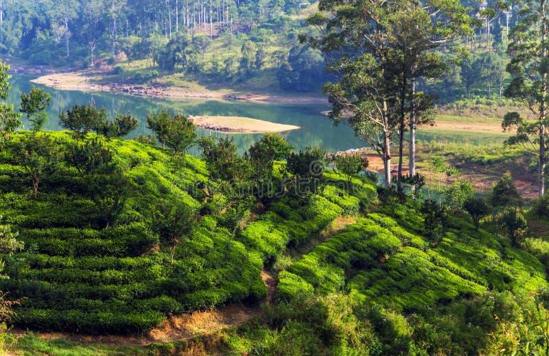 Theelandgoed in heuvelaanplantingen Ceylon, Sri Lanka stock foto