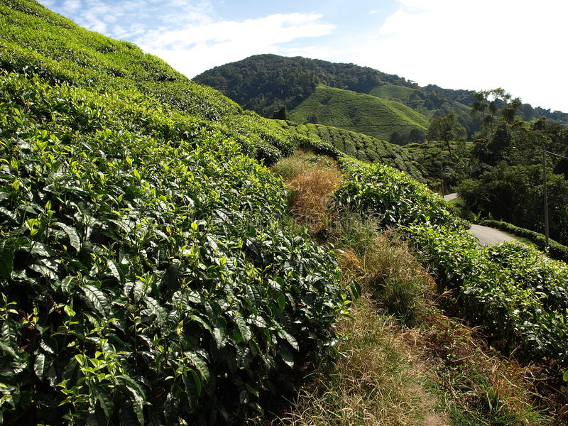 Theeplantantions Cameron Highlands royalty-vrije stock afbeelding