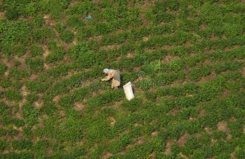 Theeplukkers die aan theeaanplanting werken De toneelrijen van theestruiken en een landelijke vrouwenarbeider zijn zichtbaar in h stock foto's