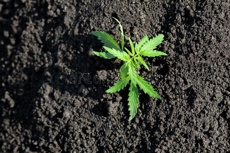 Thematic photo to legalize a plant hemp. Low THC technical cultivar with no drug value. Cannabis seedling, cultivated by hemp. Farmers to produce different royalty free stock photos