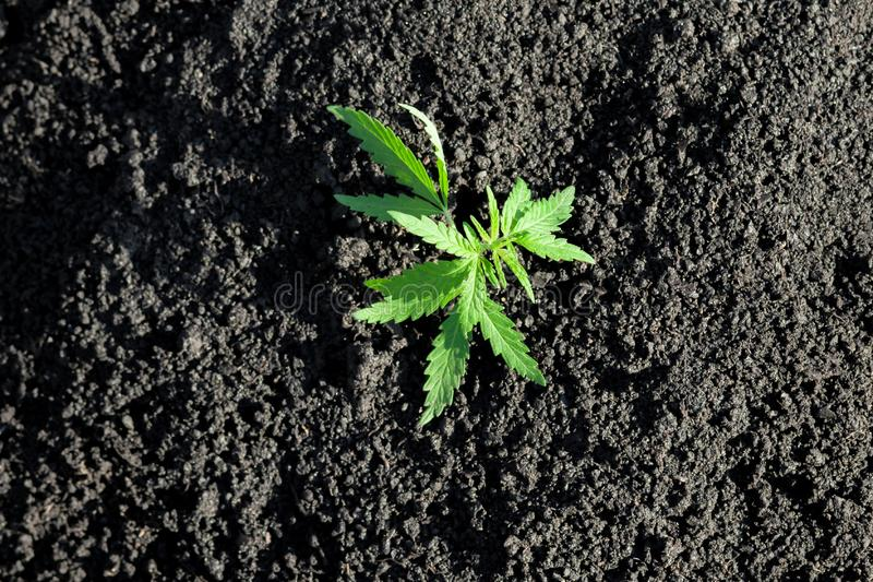 Thematic photo to legalize a plant hemp. Low THC technical cultivar with no drug value. Cannabis seedling, cultivated by hemp. Farmers to produce different stock photo