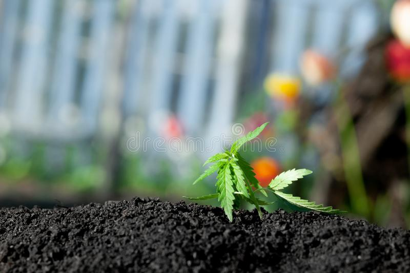 Thematische foto om een installatiehennep te legaliseren De lage technische cultivar van THC zonder drugwaarde Cannabiszaailing,  royalty-vrije stock foto