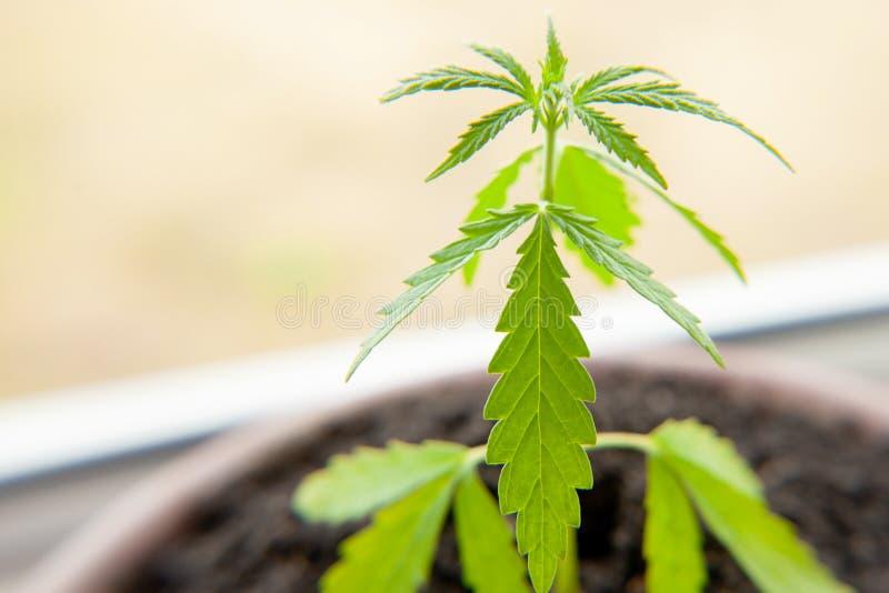 Thematische foto om een installatiehennep te legaliseren De lage technische cultivar van THC zonder drugwaarde Cannabiszaailing,  stock afbeelding