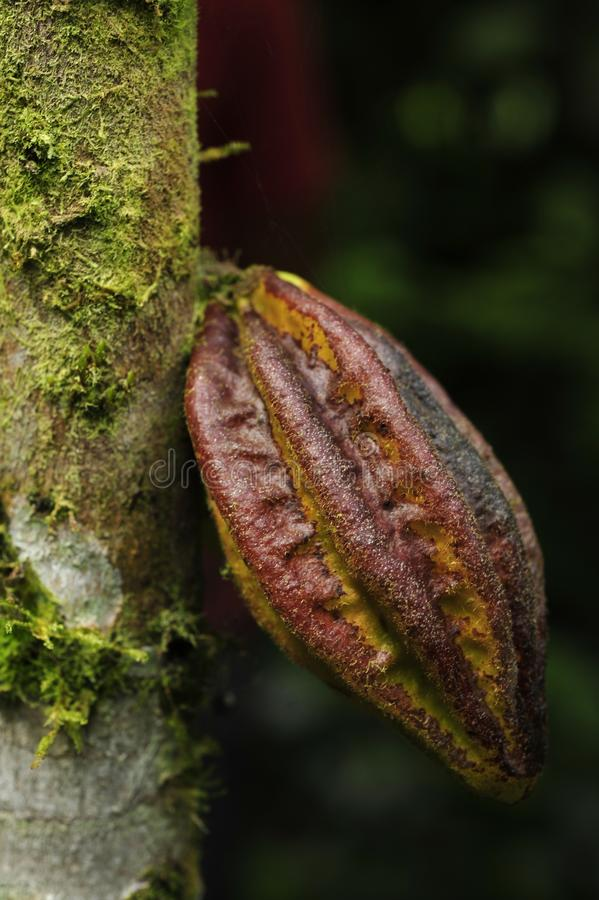 A cocoa pod growing from tree trunk. royalty free stock photography