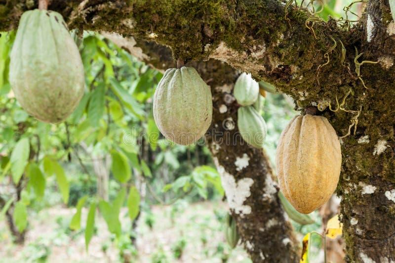 Theobroma-cacao Naturlig skörd, kakaoanläggning med hängande frukt royaltyfria bilder