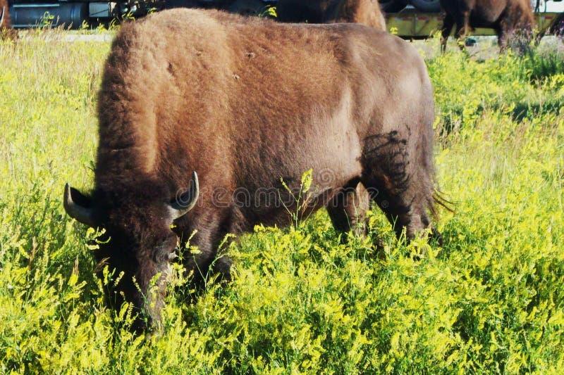 Theodore Roosevelt National Park Buffalo royalty-vrije stock foto's
