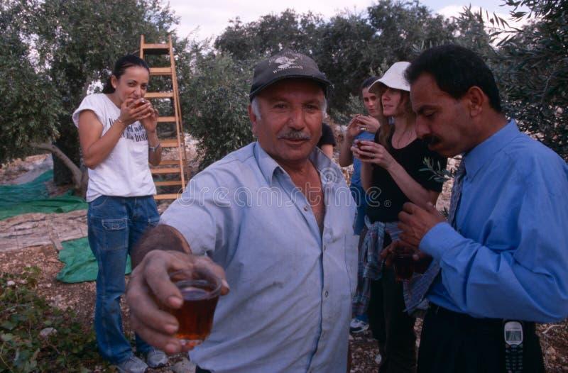 THEORIE-Freiwilliger und palästinensische Arbeitskräfte in einem Olivenhain, Palästina. stockbild
