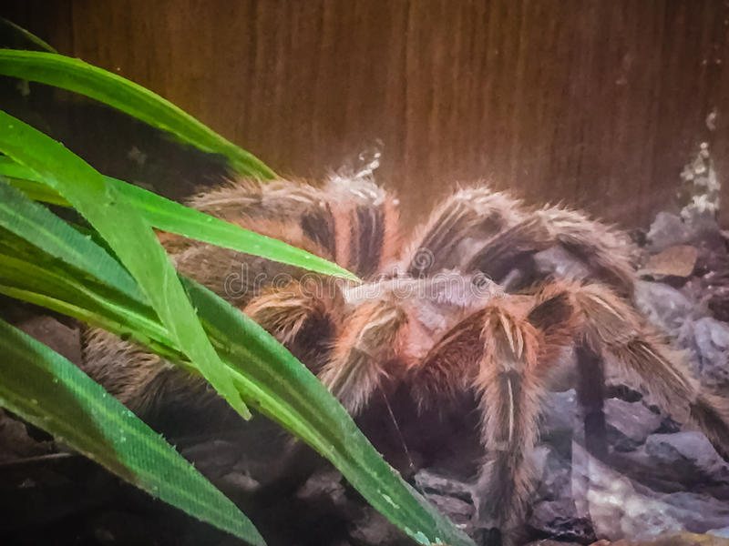 Theraphosa隆起是蜘蛛的种类在家庭Therap的 免版税库存照片