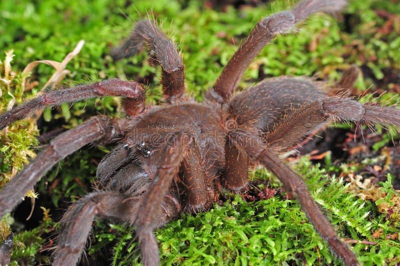 Tarantula. A Theraphosa Blondi tarantula macro shot royalty free stock photography