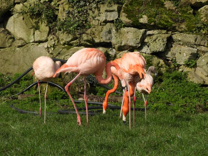 A Group or Pat of Flamingos, Dudley Zoo, England. There are four species of Flamingos in the Americas while two exist in the Old World. Flamingos live in large stock images