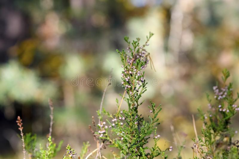 There is a heather twig in the forest stock image