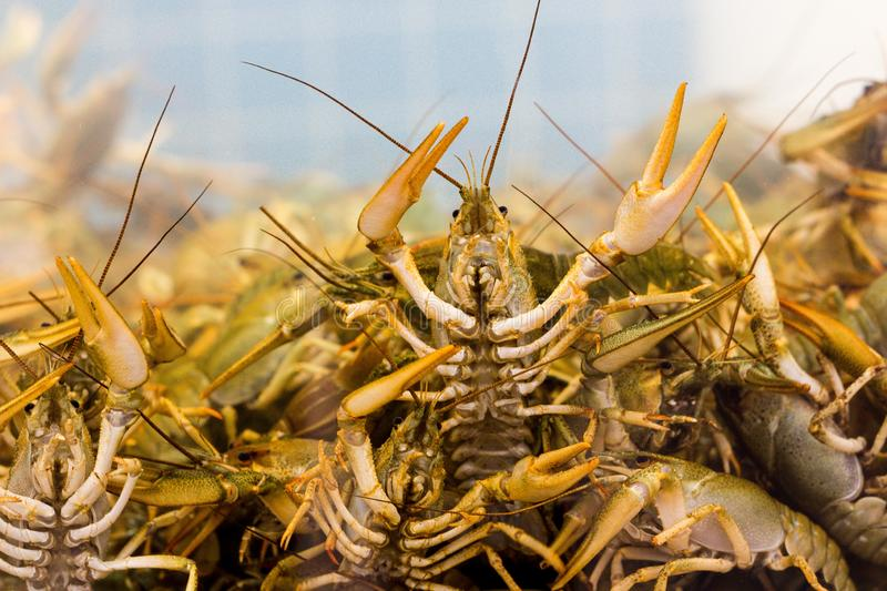 There are a lot of crayfish in a water tank on a farm where crustaceans are grown. One of the many crayfish trying to get out of the tank lifting the claws up stock photography
