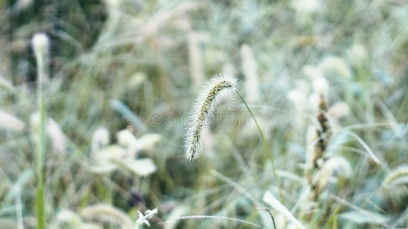 GREEN BRISTLEGRASS royalty free stock photo