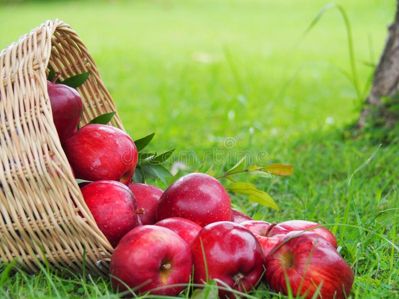 There are many red apples in the basket. Put on the grass. In the concept of harvesting agricultural products stock images