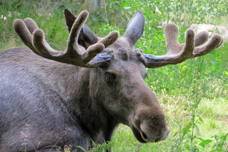 Head of a relaxing elk with impressive antlers, Sweden stock images