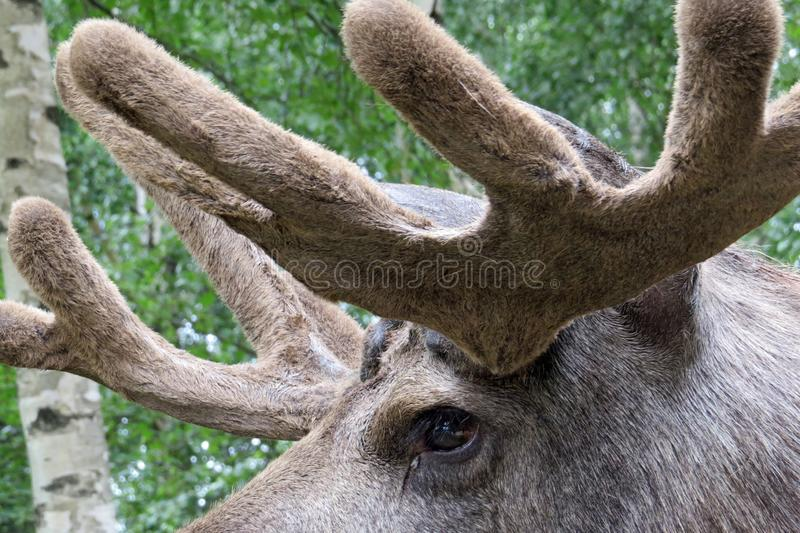 Portrait: Eye and impressive antlers of an elk / moose, Sweden royalty free stock photos