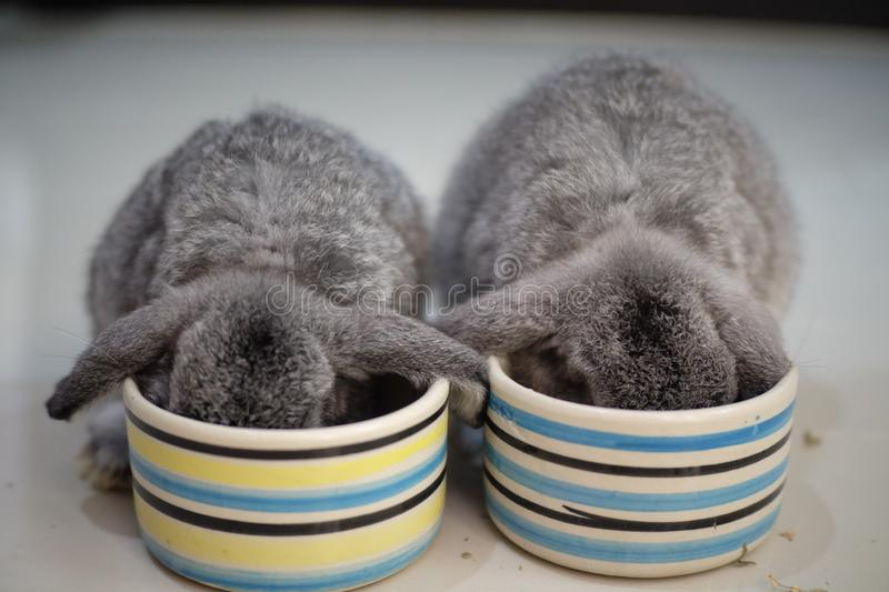 Two Honlandlop bunnies are eating breakfast stock images