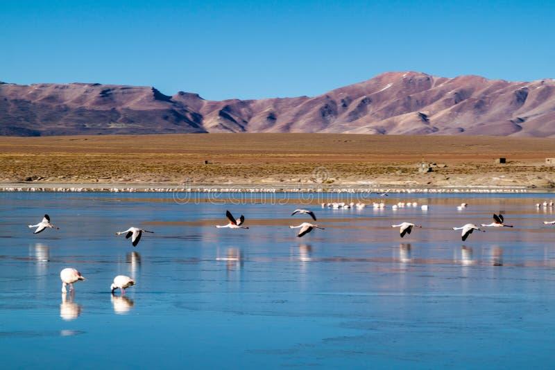 There is plenty of flamingos living in Laguna Collpa lake in Reserva Nacional de Fauna Andina Eduardo Avaroa protected. Area, Bolivia stock images