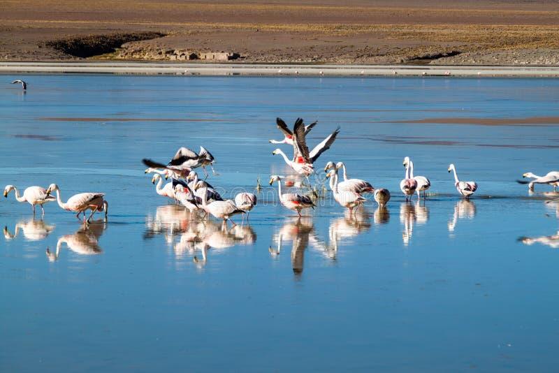 There is plenty of flamingos living in Laguna Collpa lake in Reserva Nacional de Fauna Andina Eduardo Avaroa protected. Area, Bolivia stock photo