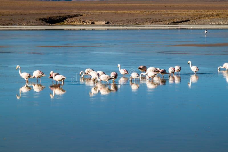 There is plenty of flamingos living in Laguna Collpa lake in Reserva Nacional de Fauna Andina Eduardo Avaroa protected. Area, Bolivia stock photography