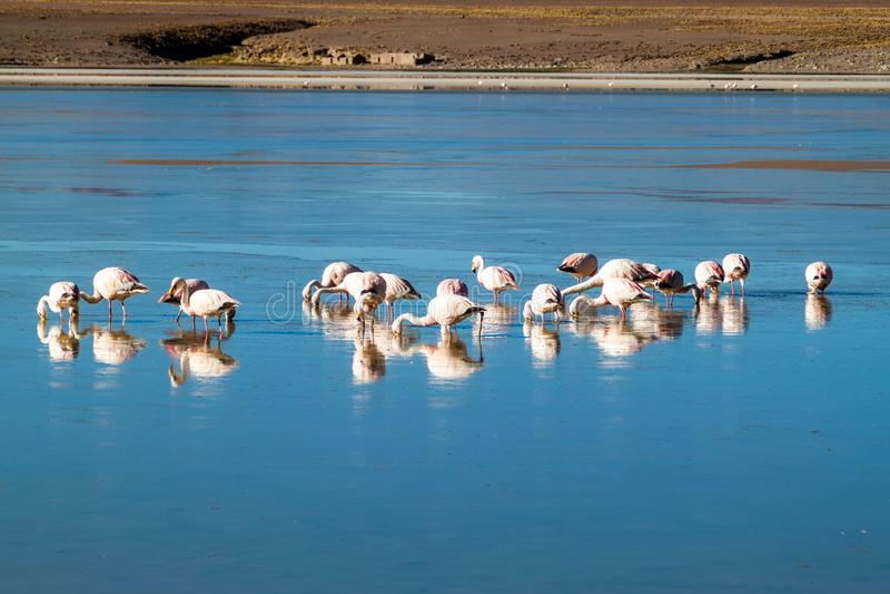 There is plenty of flamingos living in Laguna Collpa lake in Reserva Nacional de Fauna Andina Eduardo Avaroa protected. Area, Bolivia stock photos