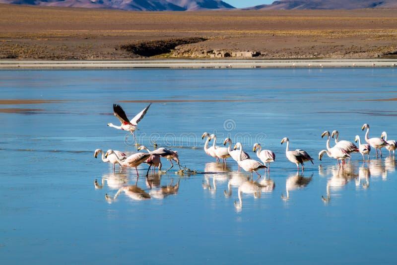 There is plenty of flamingos living in Laguna Collpa lake in Reserva Nacional de Fauna Andina Eduardo Avaroa protected. Area, Bolivia royalty free stock images