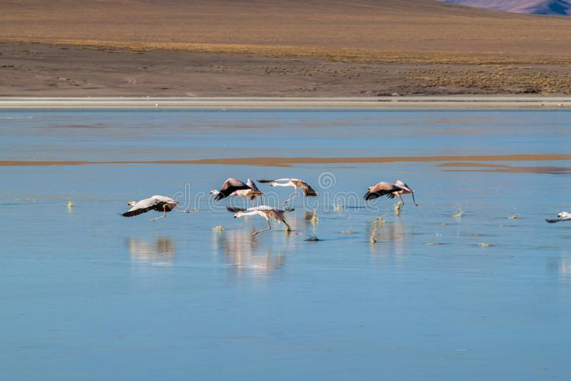 There is plenty of flamingos living in Laguna Collpa lake in Reserva Nacional de Fauna Andina Eduardo Avaroa protected. Area, Bolivia royalty free stock image