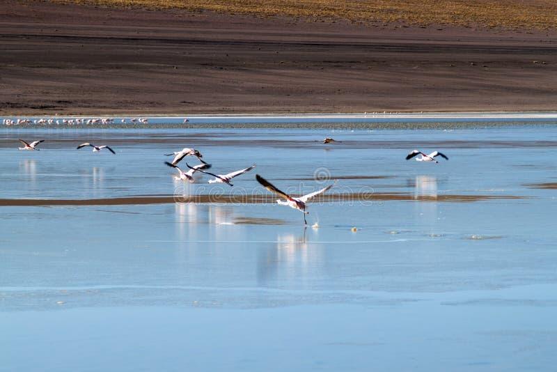 There is plenty of flamingos living in Laguna Collpa lake in Reserva Nacional de Fauna Andina Eduardo Avaroa protected. Area, Bolivia stock image