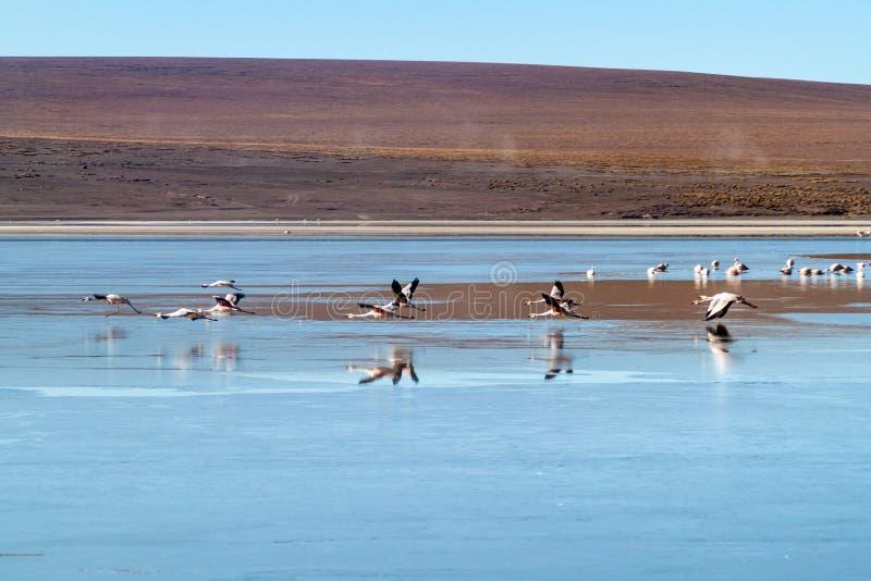 There is plenty of flamingos living in Laguna Collpa lake in Reserva Nacional de Fauna Andina Eduardo Avaroa protected. Area, Bolivia royalty free stock photos