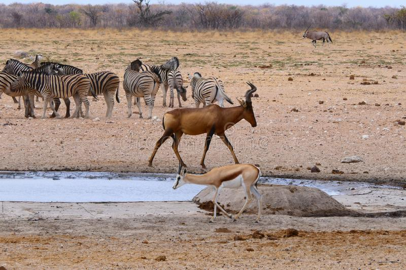 THERE IS QUITE SOMETHING GOING ON IN THAT WATERHOLE royalty free stock images