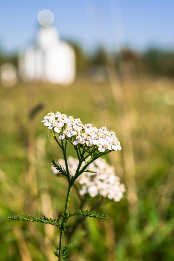 Inflorescence of yarrow on the blurred background of autumn meadow with white elegant church, Russia. royalty free stock photos