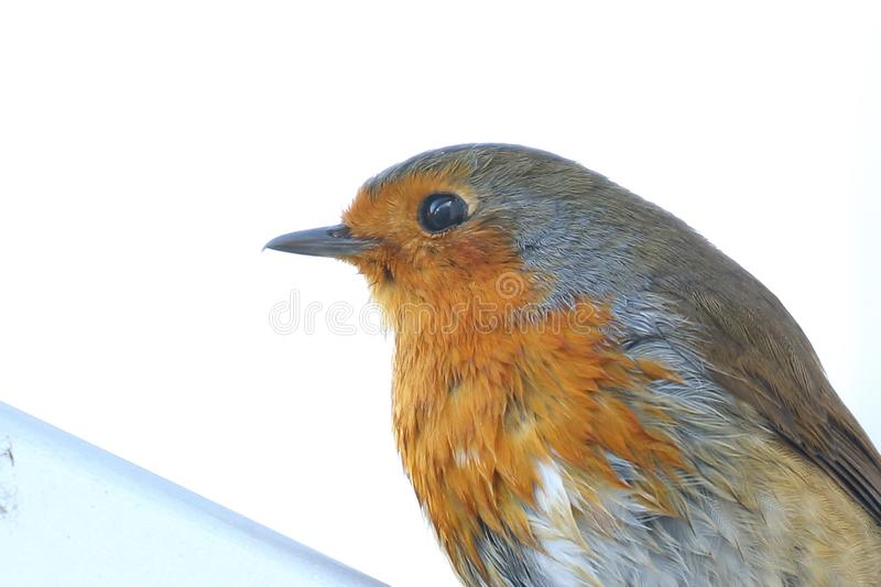 Robin Red Breast close up. There was a pair of Robins in my garden this week. This one had just been in the bird bath .nportrait with white background nice stock images