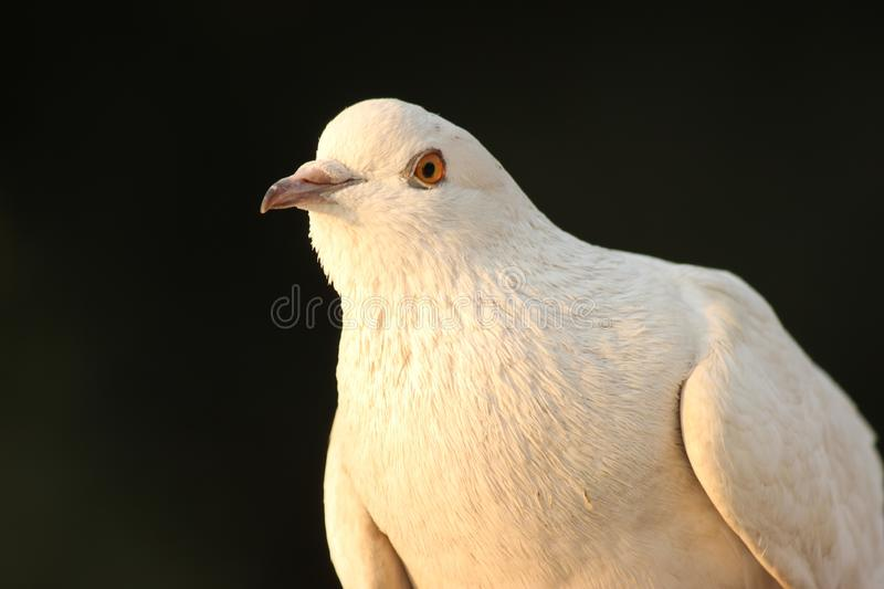 There is a white pigeon sitting silently wanting to take a picture stock images