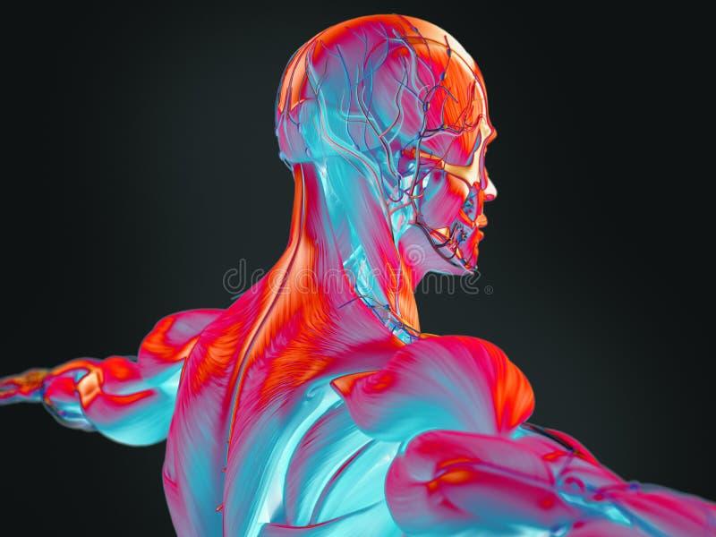 Thermische Illustration 3D der menschlichen Anatomie lizenzfreie stockfotografie