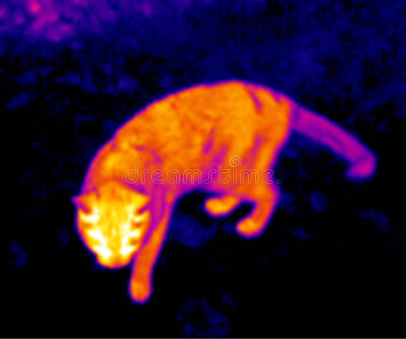 Thermograph- cat stock photography