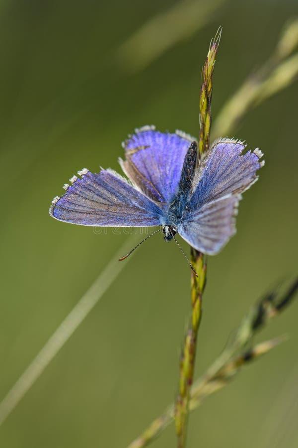 Thersites ` s сине- Polyommatus eumedonChapman гераниума Argus - Aricia стоковое фото rf