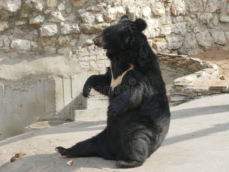 thibetanus熊属类 库存图片