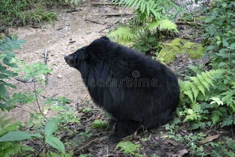 Thibetanus asiático do Ursus do urso preto igualmente conhecido como o urso da lua e o urso branco-chested que relaxam no jardim  imagens de stock royalty free