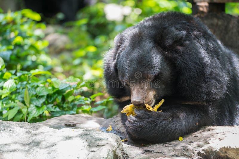 Thibetanus d'Ursus mangeant la banane photographie stock